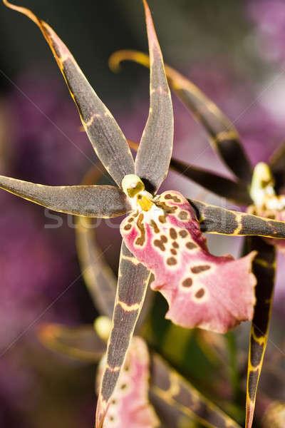 Stock photo: Orchidaceous flower in Keukenhof park