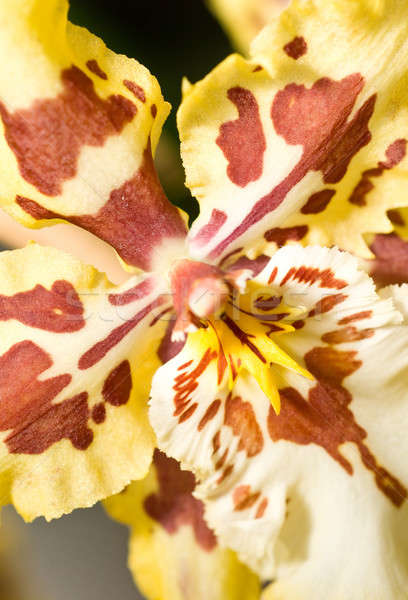 Close-up of orchid flower in Keukenhof Stock photo © Arsgera
