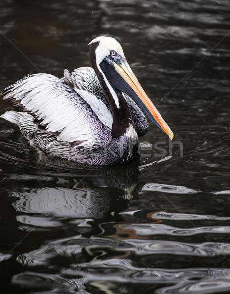 Peruvian Pelican: birds from South America   Stock photo © Arsgera