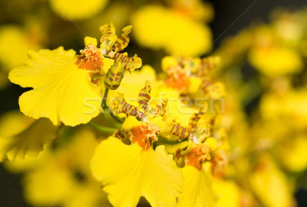 Oncidium orchid flower Stock photo © Arsgera