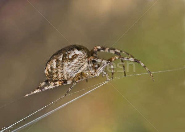 Groot spin spinneweb ondiep Stockfoto © Arsgera