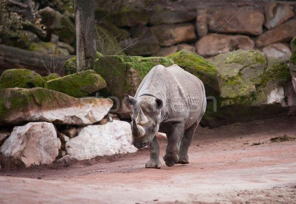 Black rhinoceros: animal life in Africa Stock photo © Arsgera