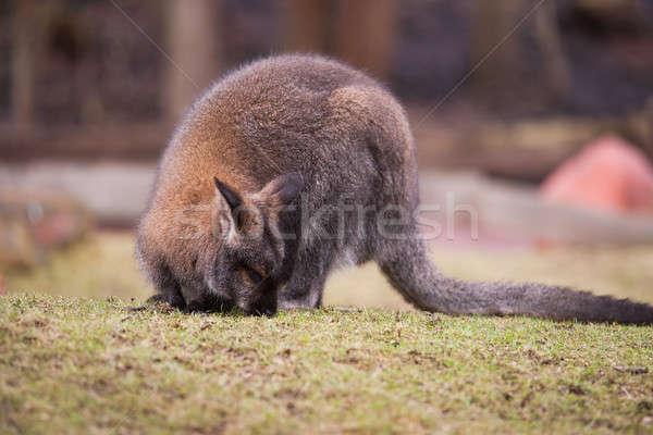 Marsupials: Wallaby feeding on the grass Stock photo © Arsgera
