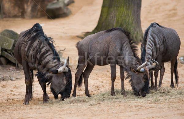 Grazing or pasturing wildebeests Stock photo © Arsgera