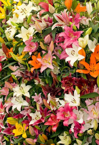 Lily background from Keukenhof park Stock photo © Arsgera