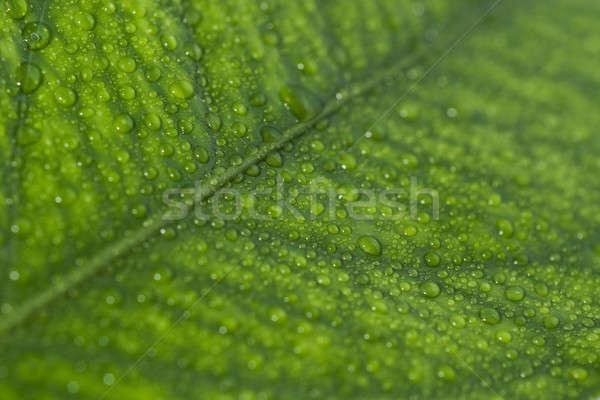 Wenig Tröpfchen Blatt green leaf Wasser Regen Stock foto © Arsgera