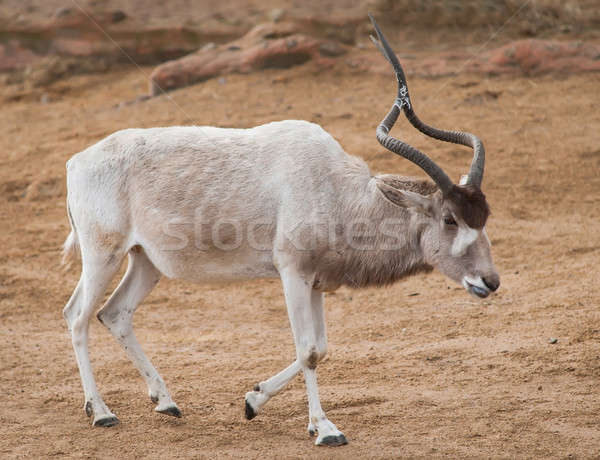 Addax or Mendes antelope: animals from Africa Stock photo © Arsgera
