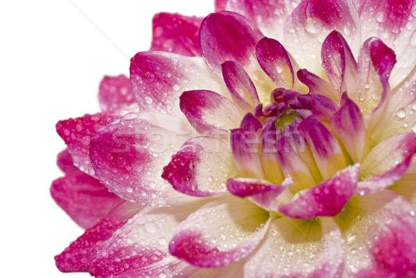 георгин влажный розовый природы Сток-фото © Arsgera