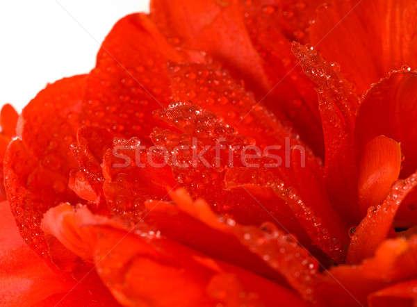 Vermelho tulipa broto branco extremo Foto stock © Arsgera