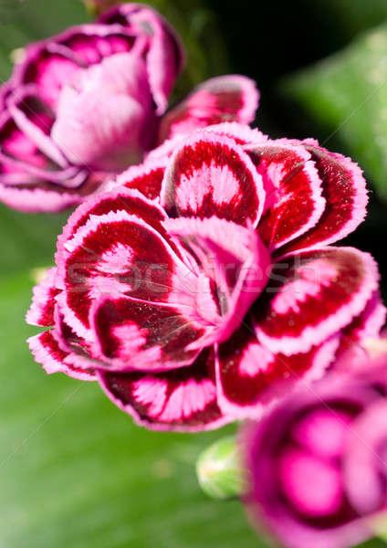 Close-up of carnation Stock photo © Arsgera