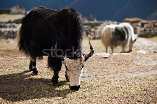Yaks in highland village in Himalayas Stock photo © Arsgera