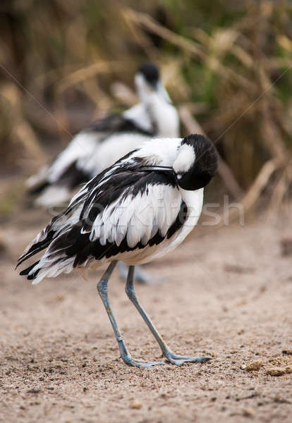Pied avocets cleaning and scraoeing themselves Stock photo © Arsgera