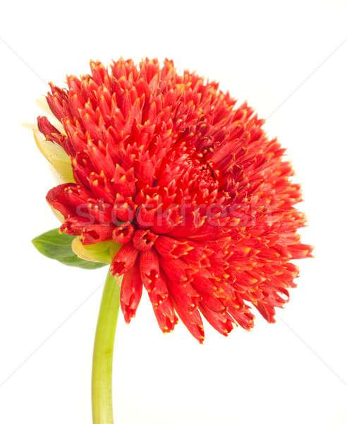 Güzel kırmızı dalya çiçek tomurcuk yalıtılmış Stok fotoğraf © Arsgera