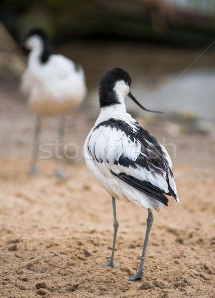 Pied avocet: black and white wader Stock photo © Arsgera