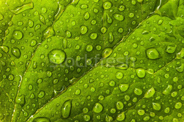 Environmental or floral pattern: green leaf with dew droplets Stock photo © Arsgera