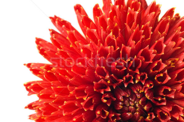 Red georgina flower bud Stock photo © Arsgera