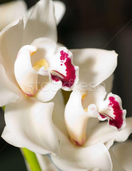 Stock photo: cymbidium orchid flower in Keukenhof