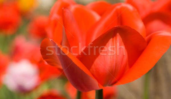 Tavaszi virágok közelkép piros tulipán rügy kert Stock fotó © Arsgera