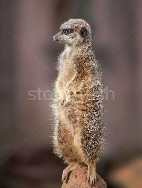 Animal life in Africa: watchful meercat  Stock photo © Arsgera