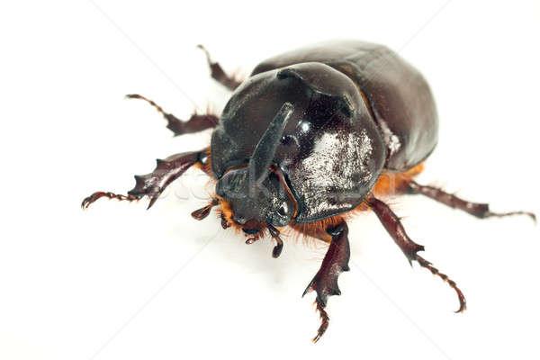 Macro of rhinoceros or unicorn beetle Stock photo © Arsgera