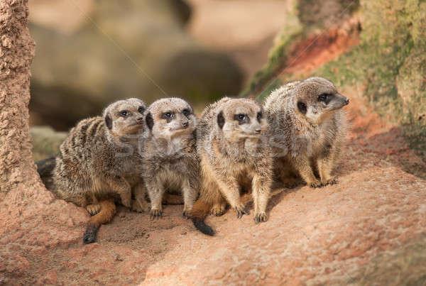 Group of watchful meerkats on the termitary Stock photo © Arsgera