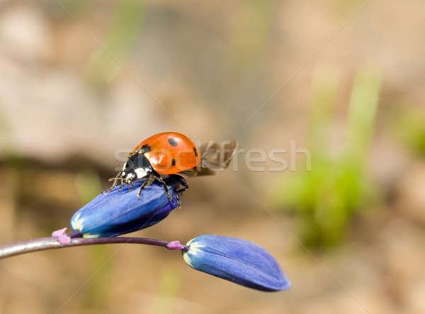 Katicabogár virág tavasz fű természet terv Stock fotó © Arsgera