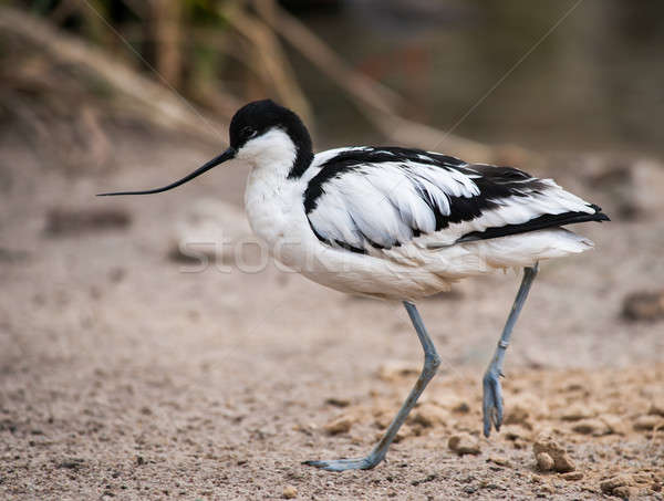 Wader: black and white Pied avocet Stock photo © Arsgera