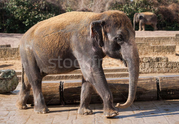 Asiatic elephant: Animal life in Asia Stock photo © Arsgera