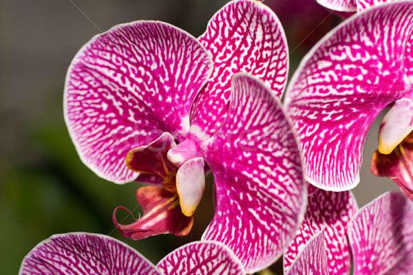 Close-up of cymbidium or orchid Stock photo © Arsgera