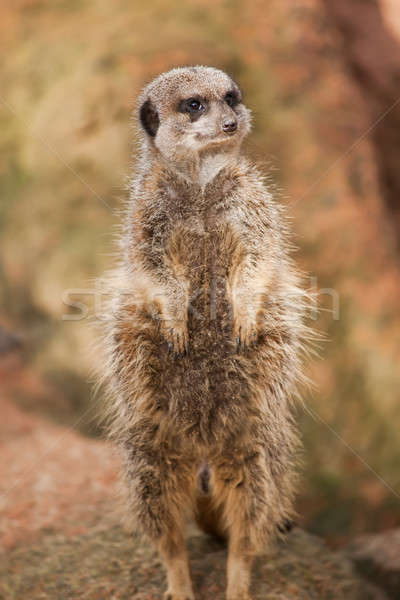 Alert: concerned meerkat looking out Stock photo © Arsgera