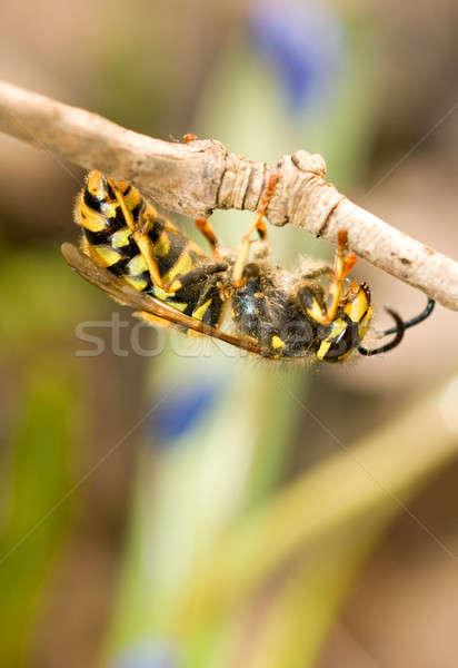 Primo piano vespa sottile ramo primavera animali Foto d'archivio © Arsgera