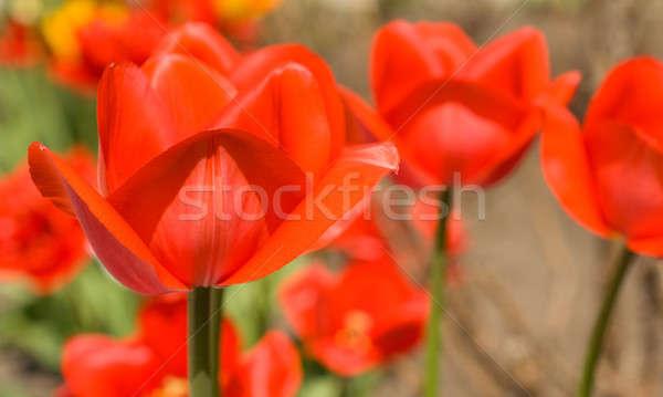 Piros tulipánok kert tavasz jött virág Stock fotó © Arsgera