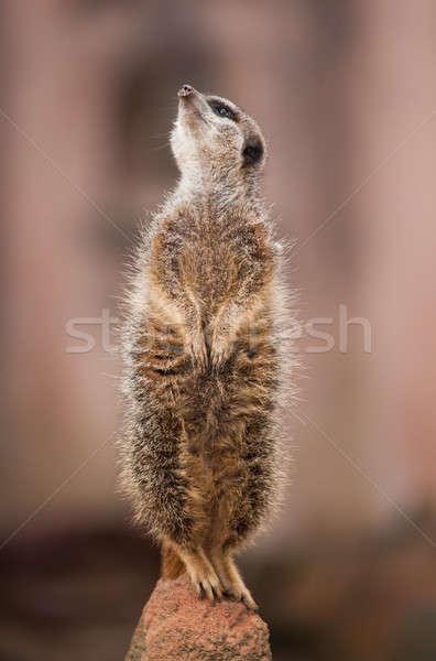 Veja fora animais selvagens África cara Foto stock © Arsgera