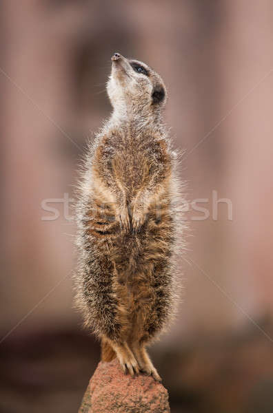 Look  out: watchful meerkat or suricate Stock photo © Arsgera