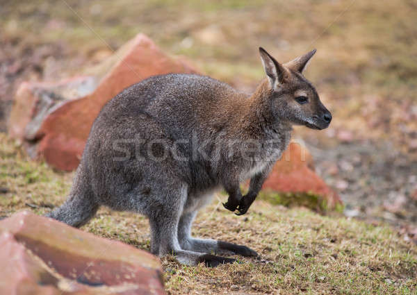 Wallaby: wildlife and animals of Australia Stock photo © Arsgera