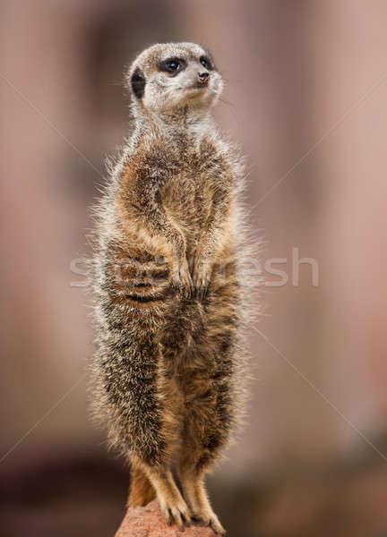 Animals of Africa: watchful meerkat Stock photo © Arsgera