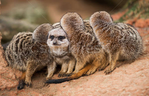Be different: group of meerkats looking out Stock photo © Arsgera