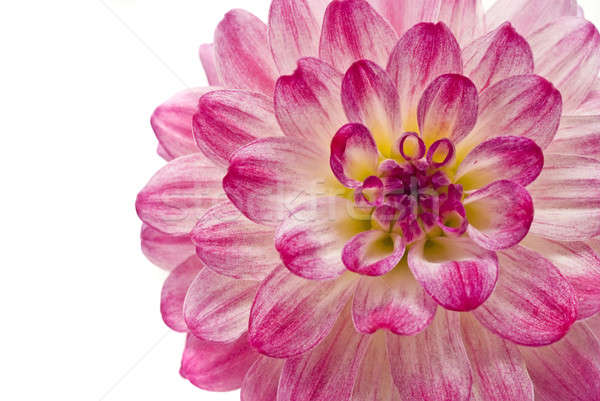Stock photo: Pink dahlia isolated over white