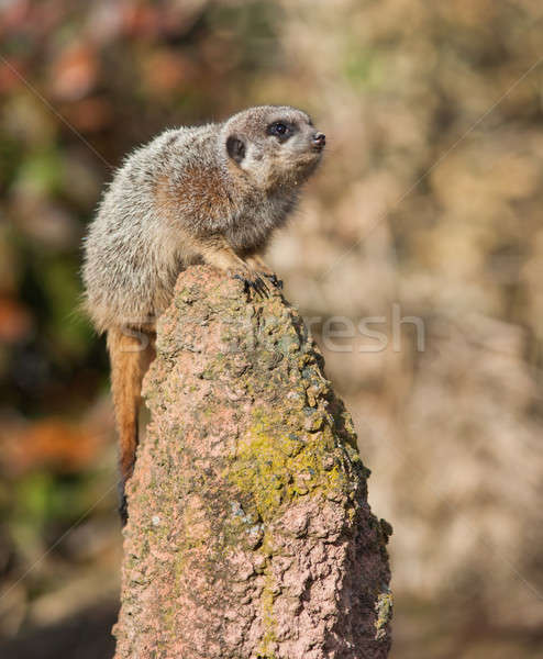 Alert: watchful meercat on the mound Stock photo © Arsgera