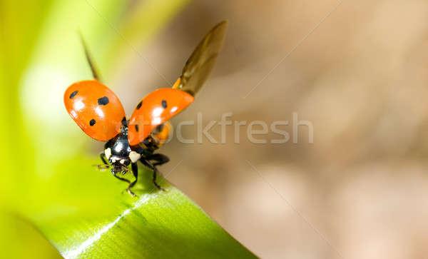 Closeup of ladybird on green grass Stock photo © Arsgera