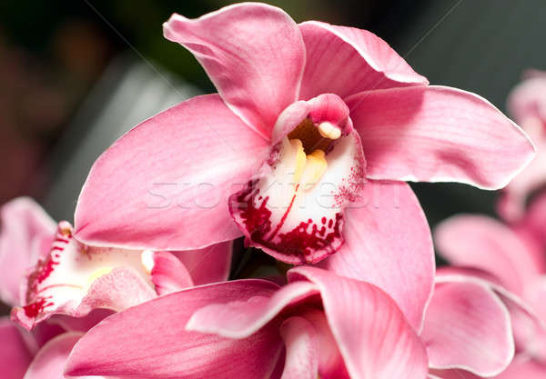 Pink orchid or Cymbidium flower Stock photo © Arsgera