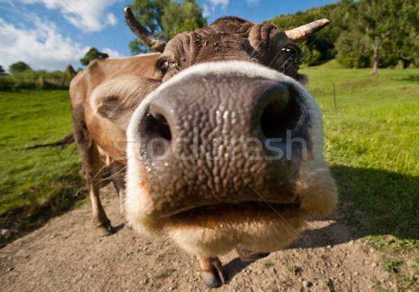 Curious funny cow on the meadow Stock photo © Arsgera