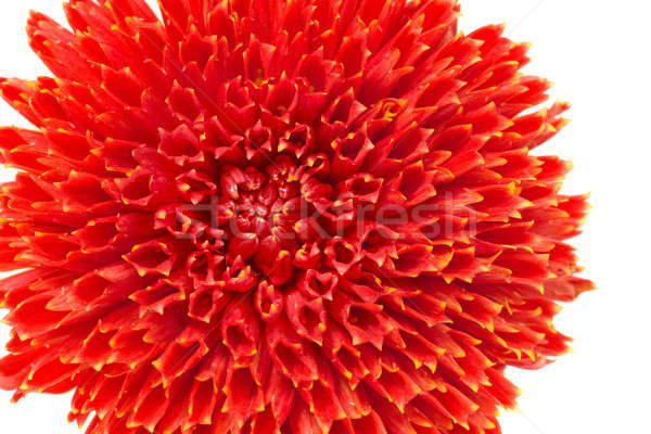 Rouge fleur bourgeon isolé dahlia blanche Photo stock © Arsgera