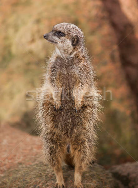 Wildlife in Africa: watchful meerkat Stock photo © Arsgera