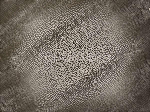 Alligator skin with shallow DOF Stock photo © Arsgera
