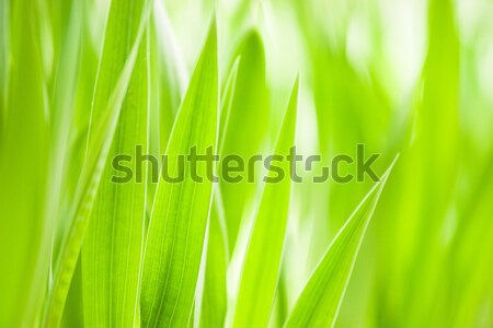 весны зеленая трава полезный окружающий шаблон большой Сток-фото © Arsgera