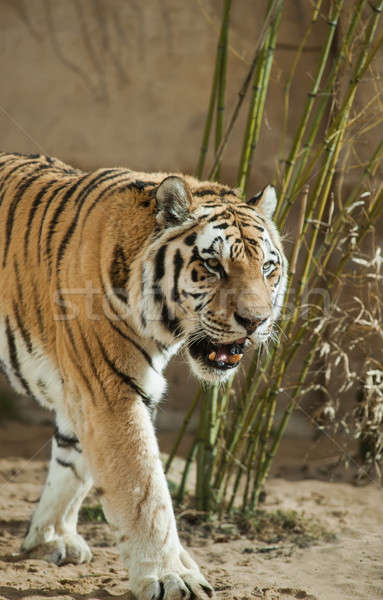 Predator: tiger and bamboo tangle Stock photo © Arsgera