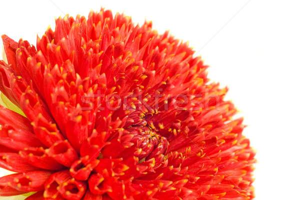 Macro of Red georgina flower bud Stock photo © Arsgera