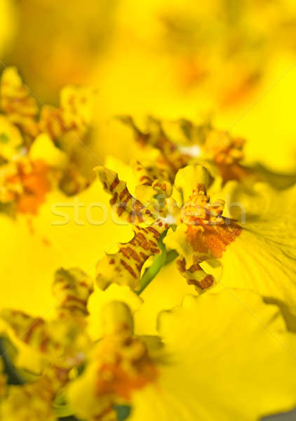 Stock photo: Close-up of Oncidium orchid flower