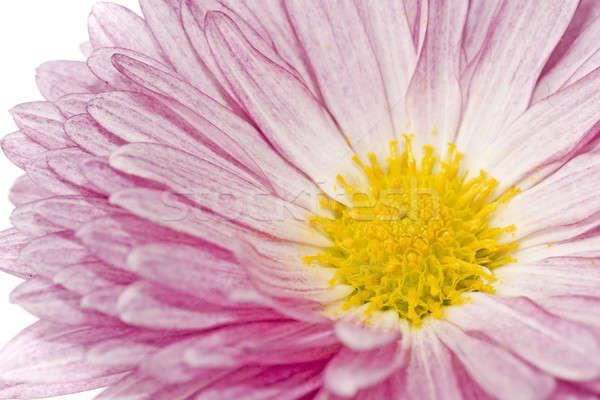 Chrysantheme weiß Frühling Natur Sommer Stock foto © Arsgera